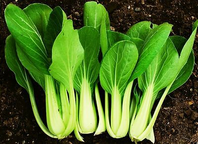 Canton Pak Choi Seeds, Chinese Cabbage, Bok Choy, senfkohl, Kim Chi Seeds