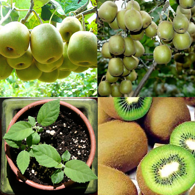 100PCS Bonsai Kiwi Fruit Tree Seeds Garden Home Pot Sweet Fast-Growing