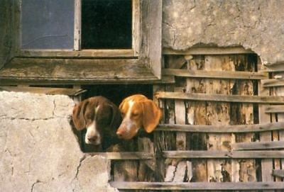 Oversize Photo Postcard PC 2 Pointer Hunting Dogs 1988 Wiltink Netherlands