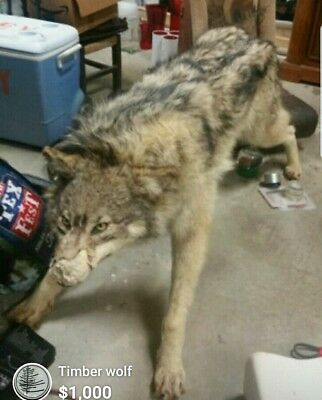 timber wolf taxidermy