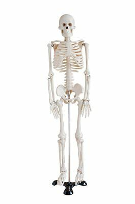 Display4top Mini Human Skeleton Model - 85cm - Medical Educational Training Aid
