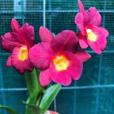 AAO Orchid-CTNA Why Not Lea X Self