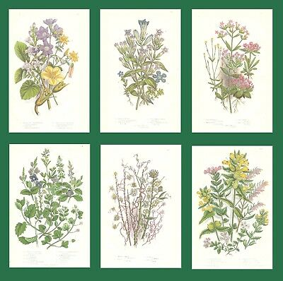 Lot of 6 ORIGINAL ANTIQUE 1893 ANNE PRATT FLOWER PRINTS GRASSES SEDGES FERNS 12