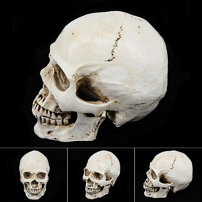 2018 Resin Human Skull Replica Model Anatomical Medical Small Size Skeleton Head
