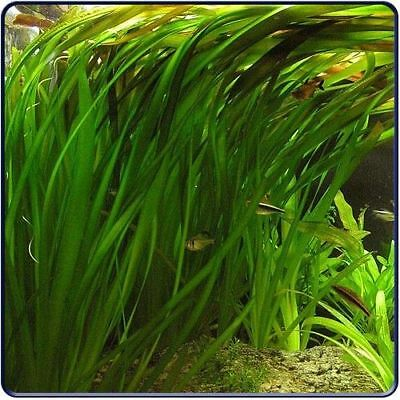 Plante aquarium vallisneria gigantea 30 cm lot de 3 pieds aquatique