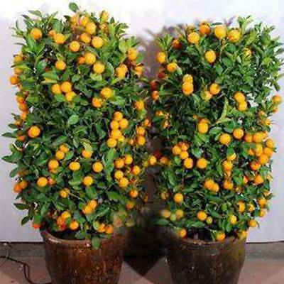 30Pcs Edible Fruit Citrus Orange Tree Seeds Planting Bonsai Home Garden Plants