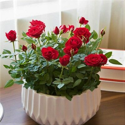 100 Pcs/Bag Mini Rose Seeds Rare Bonsai Flower Seeds  Pot Balcony Plant Home