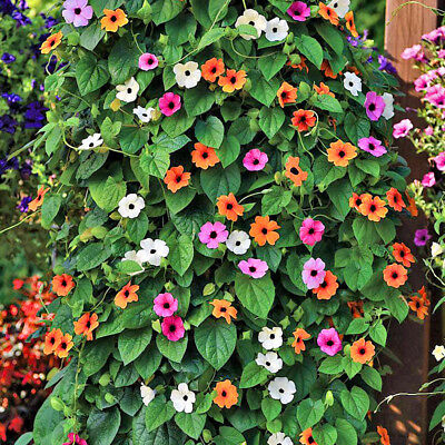 5 pcs Thunbergia (Thunbergia Alata) mixed colors flower seeds