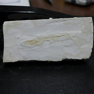 GEOLOGICAL ENTERPRISES Fossil Fish Gasterosteus doryssus from Nevada!!