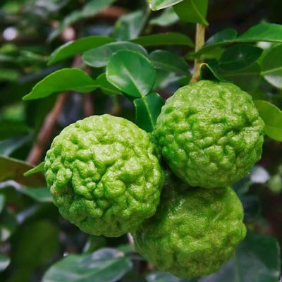 30 PCS Rare Kaffir Lime Seeds Tree Home Decor Plant lemon Bonsai Seeds  Pot