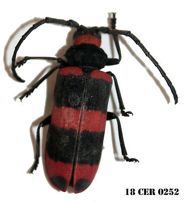 Insect Coleoptera Beetle Cerambycidae Species 18-CER 0252
