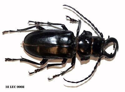 Insect Coleoptera Beetle Lucanidae Species -Rare! The Congo! 18-LUC 0008