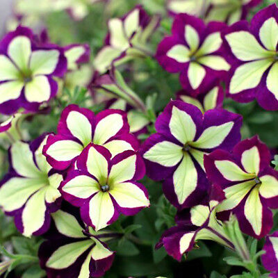 Petunia Seed Flower Seed Purple Yellow Hybrida Hanging Petunias Beautiful Bonsai