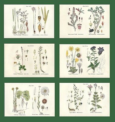 Lot of 6 ORIGINAL ANTIQUE 1913 ANNE PRATT FLOWER PRINTS GRASSES SEDGES FERNS 7