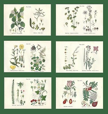 Lot of 6 ORIGINAL ANTIQUE 1913 ANNE PRATT FLOWER PRINTS GRASSES SEDGES FERNS 6