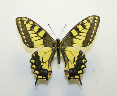 PAPILIONIDAE - PAPILIO MACHAON PIKEI Male Canada Peace River Distr. VERY RARE