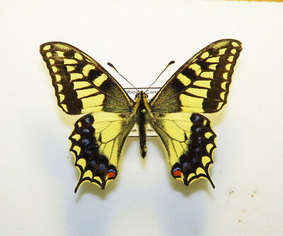 PAPILIONIDAE - PAPILIO HOSPITON Male France Corsica VERY RARE