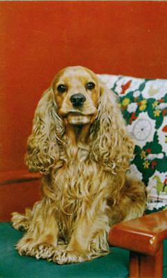 Vintage Postcard  Cocker Spaniel Dog with Personality! Alfred Mainzer 1950s USA