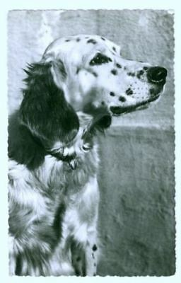 Old Personal Photo Postcard PC English Setter Dog The Netherlands c1960
