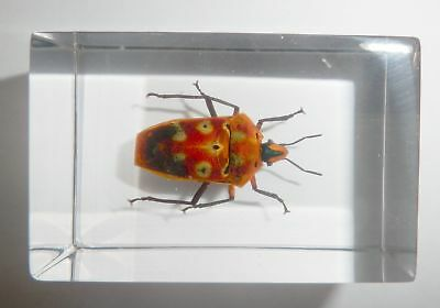 Spotted Shield Bug Cantao ocellatus Small Paperweight Education Insect Specimen