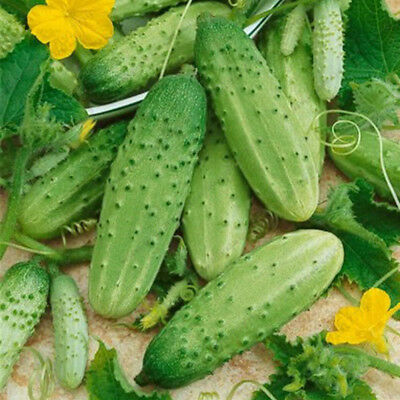 Cucumber Seeds Home Garden Balcony Plant Seed Organic Russian Pickling Vegetable