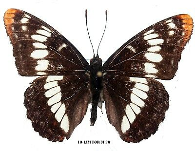 Insect Butterfly Moth Nymphalidae Limenitis lorquini-Rare Male! 26