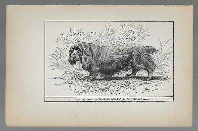 "Sussex Spaniel Antique Dog Print Ch. ""Bridford Giddie"" 19th Century"