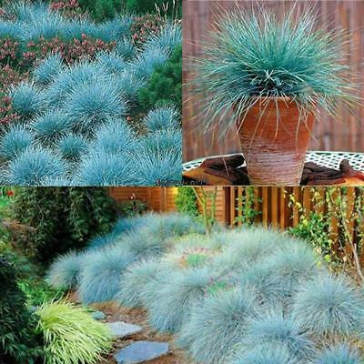 50pcs Blue Fescue Herb Hardy Ornamental Perennial Seeds Grass Seeds Pot OO55