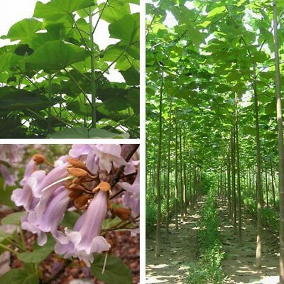 100x PAULOWNIA ELONGATA SEEDS FOREST FAST GROWING TREE HOME GARDEN PLANT BONZER