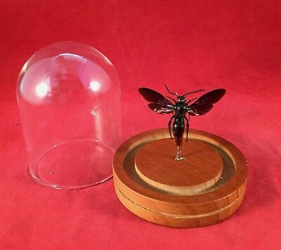 Entomology Iridescent Scoliid Wasp Megascolia azurea Male Glass Dome Display