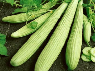 Greek/Cretan/Armenian Cucumber 15 seeds Organic Non GMO Vegetable