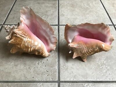 Large Queen Conch Sea Shell Pair