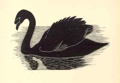 1928 AWESOME B&W etching: BLACK SWAN bird