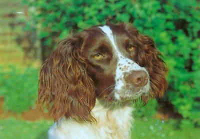 Oversize Brittany or French Spaniel Dog Postcard London England c1996