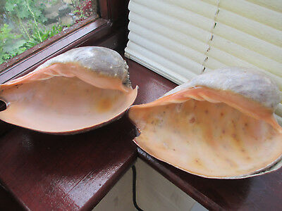 Pair Giant West African Melo Meltonis Shells Peachy Beige Inside 23cms X 17cms
