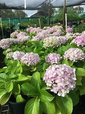 Healthy Potted Hydrangea Plants - Pink Flowers