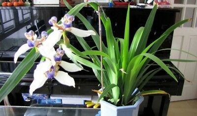 Walking Iris plant with roots / 8 pot available