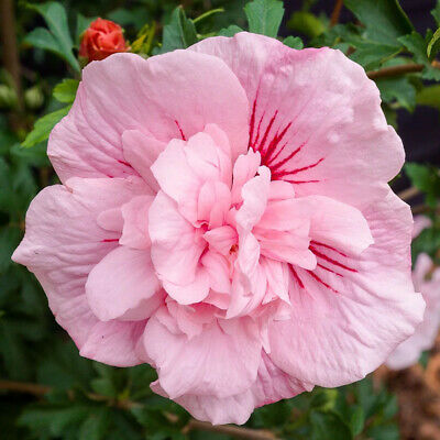 "Hibiscus syriacus Pink Chiffon - Rose Mallow. Plant in 3.5"" Pot"