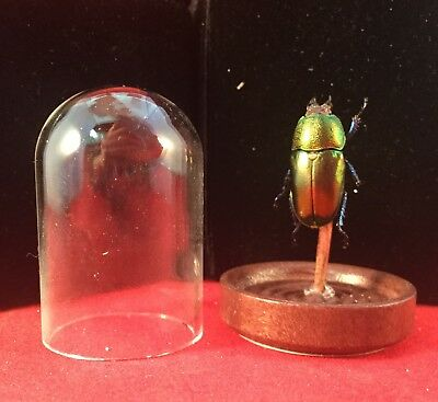 Entomology Taxidermy Mt Arfak Stag beetle female specimen Glass Display Dome