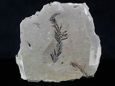 Highly Detailed Fossil Plant Leafs Metasequoia Dawn Redwood Oligocene Age Mt