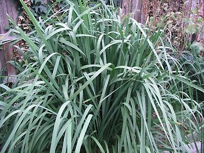 LOMANDRA LONGIFOLIA - PREMIUM QUALITY, MATURE PLANTS – FROM $15.00/Ea (EB113)