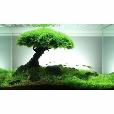 plante aquarium aquatique mousse de java vesicularia dubyana lot de 25 Gr