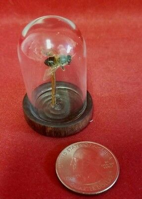 *Taxidermy Entomology Preserved Honey Bee Glass Dome Display-insect honey bee