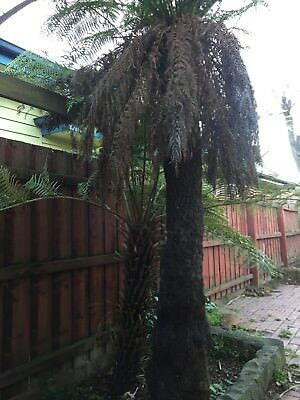 Tree Ferns X 4