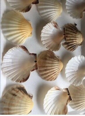12 X Beautiful Large Scallop Shells..11-13cm