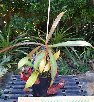 Nepenthes sanguinea species (red form)