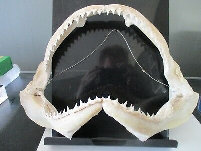 11 Inch Bull Shark Jaws in Perfect Condition