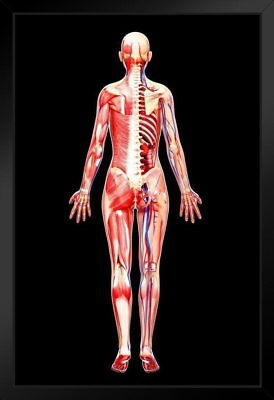 107088 Female Anatomy Human Body Educational Chart by Decor WALL PRINT POSTER AU