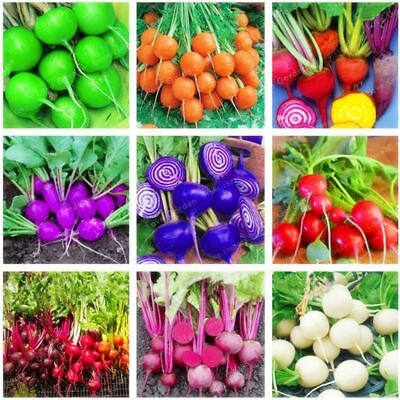 50 Pcs Rainbow Colour Cherry Belle Radish 100% Real Seed Delicious Vegetable See