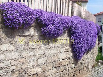 100 pcs Rock Cress Aubrieta Cascade flower seeds